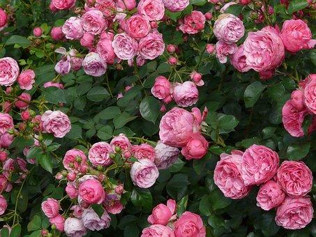 Роуз, Розовый, Розы, Флорибунда
