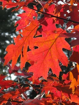 Leaf, Autumn, Leaves, Forest, Red Leaf