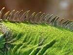 comb, iguana, green