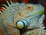 iguana, green, lizard