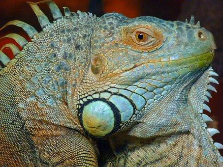 Iguana, Green, Lizard, Kaltblut, Reptile