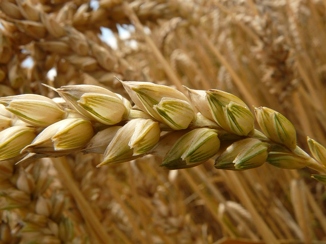 free photo  spike  wheat  cereals  grain  field - free image on pixabay