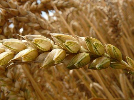 Пшеница и ячмень – самые маржинальные культуры на юге России в этом сезоне