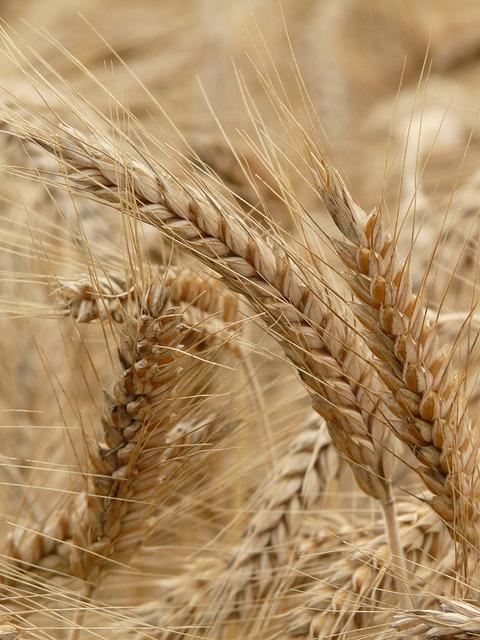 Spike Rye Cereals 183 Free Photo On Pixabay
