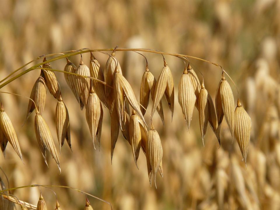Avena, Avena Campo, Arabile, Cereali, Grano