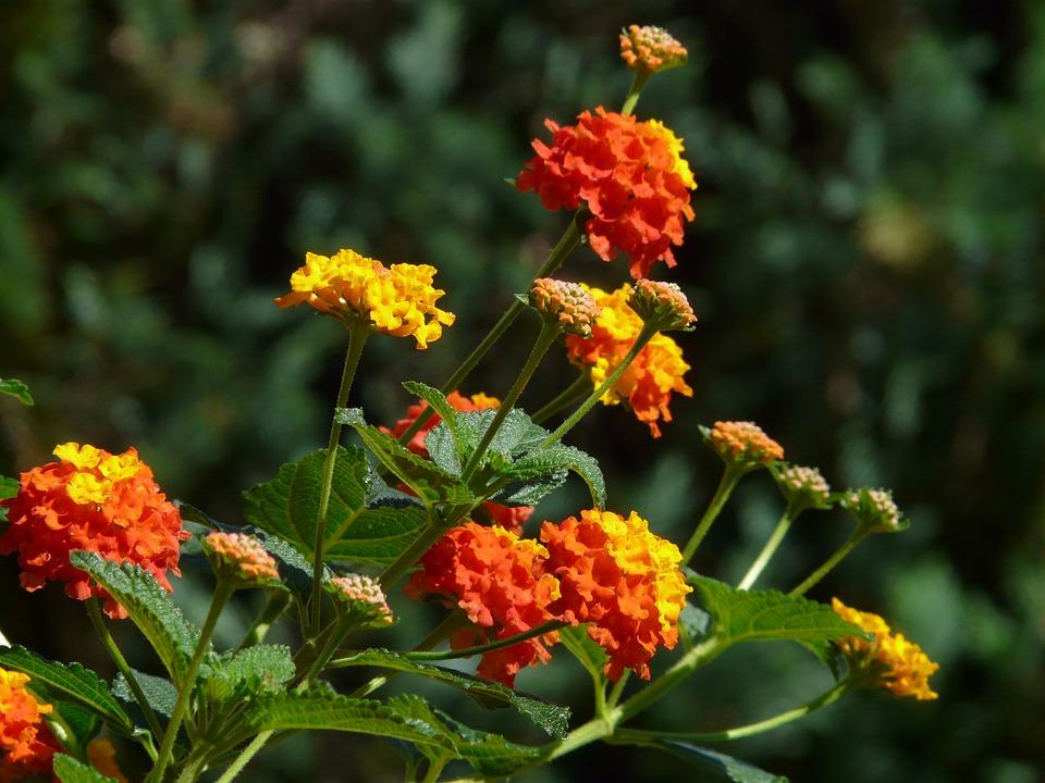 Lantana, Lantana Camara, Ornamental Plant, Yellow
