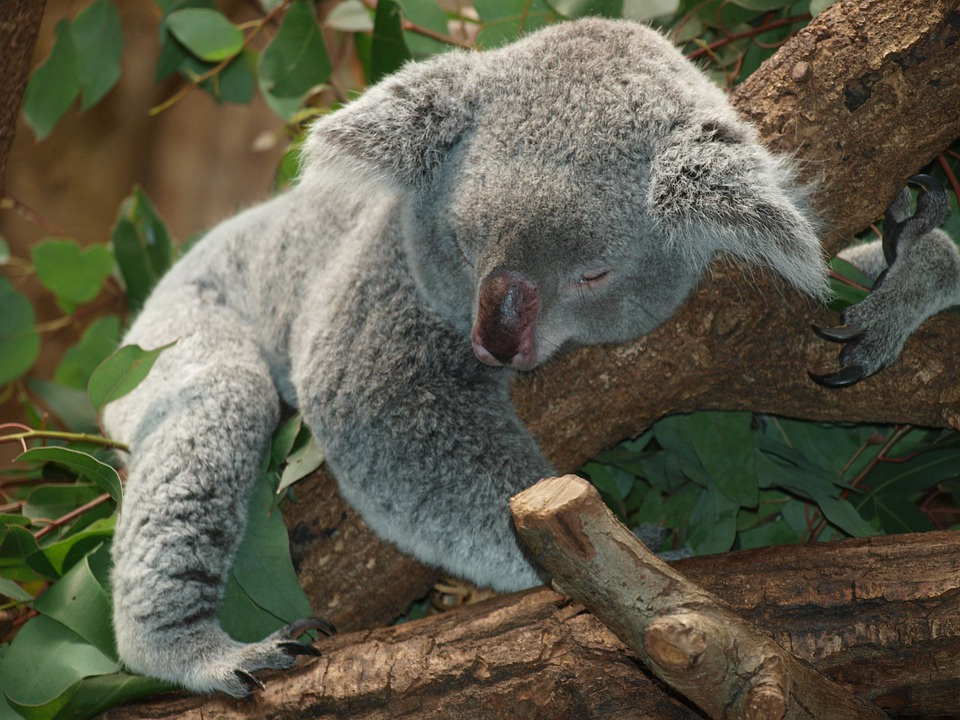 Koala Bear, Australia, Teddy, Sleep, Lazy, Rest, Animal