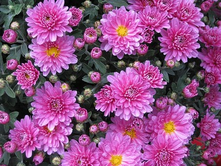 Bunga Bunga, Tunas, Taman, Krisan