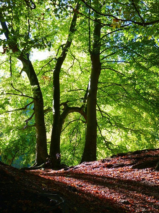 beech forest ecosystems Despite the importance of beech, there has been relatively little study of the effects of beech bark disease on forest ecosystem processes.