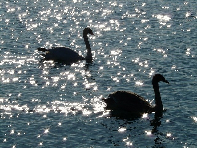 Swan Swans Animal · Free photo on Pixabay