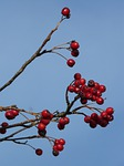 berries, fruits, red