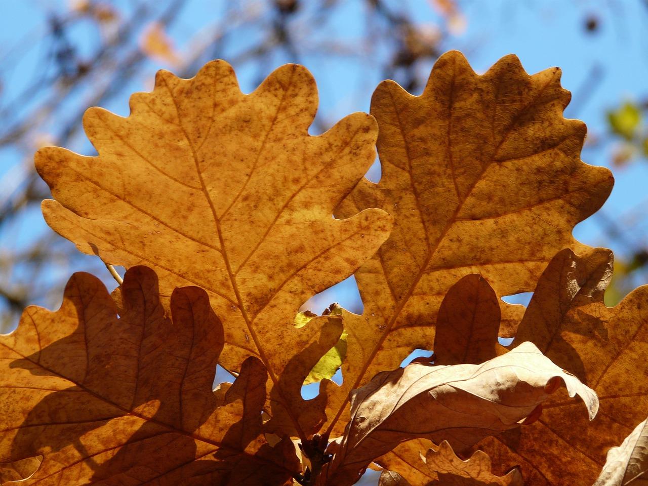 фото с дубовыми листьями лук небольшом
