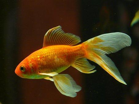 Schleierschwanz Fisch Goldfisch Schwimmen