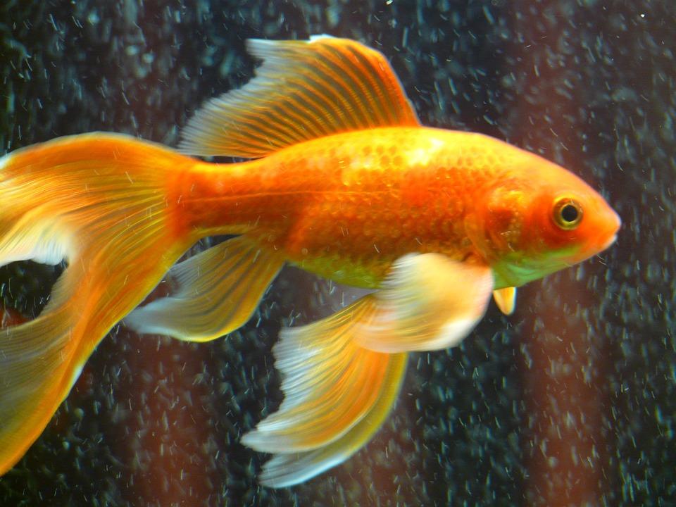 Kostenloses foto schleierschwanz fisch goldfisch for Aquarium fische im teich