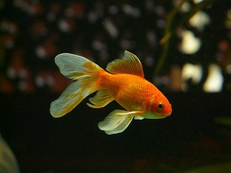 Veiltail Fish Goldfish Swim Aquarium Fresh