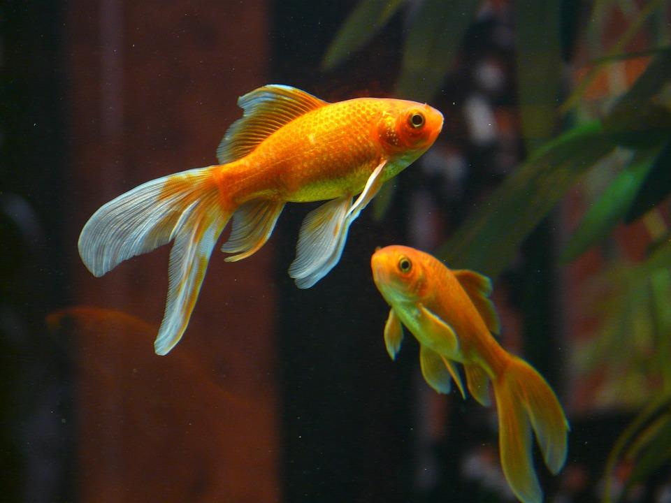 Free photo veiltail fish goldfish swim free image on for Aquarium poisson rouge sale
