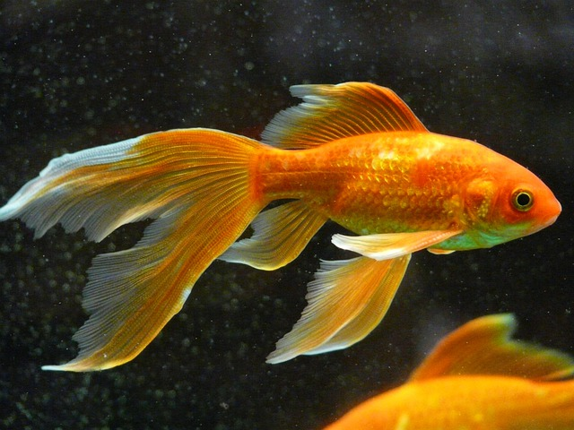 Veiltail fish goldfish free photo on pixabay for Nourriture poisson rouge voile de chine