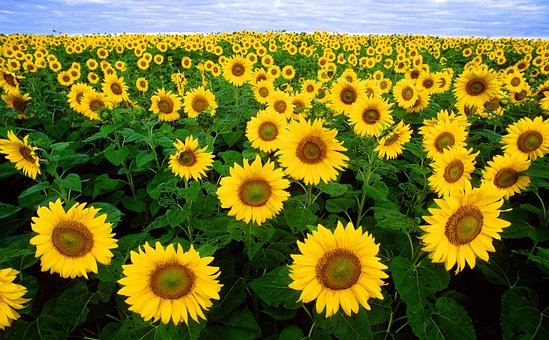 Sunflower, Sunflower Field, Flora, Field