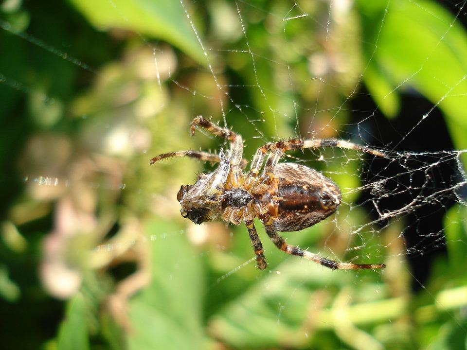 Araña de la hierba