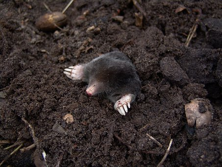 Mole, Nature, Animals, Molehills, Blind