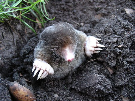 Mole Nature Animals Molehills Mole Mole Mo