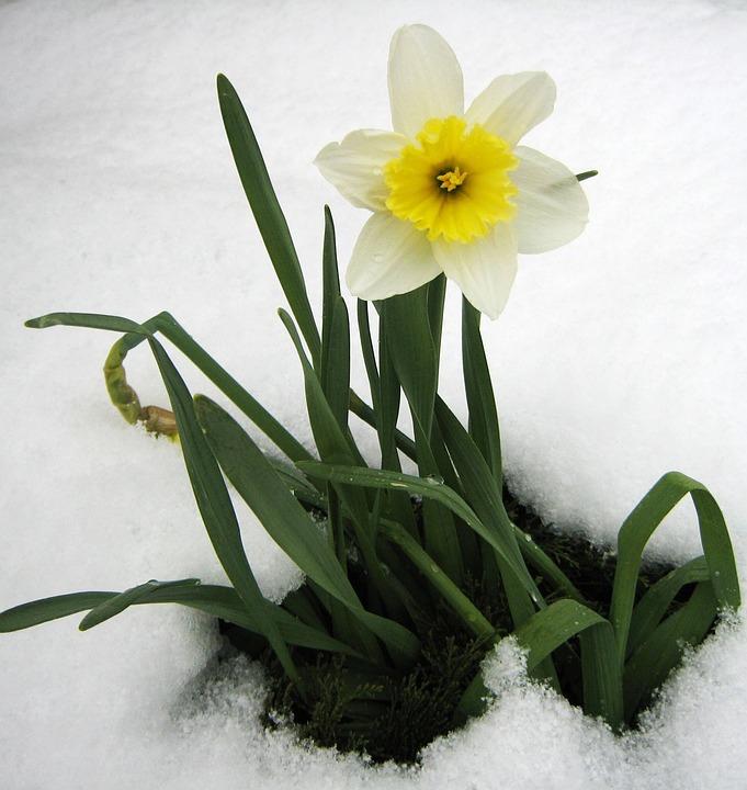Daffodil Spring Snow 183 Free Photo On Pixabay