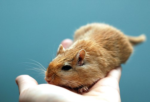 Animal, Rodent, Gerbil, Pet, Small, Cute