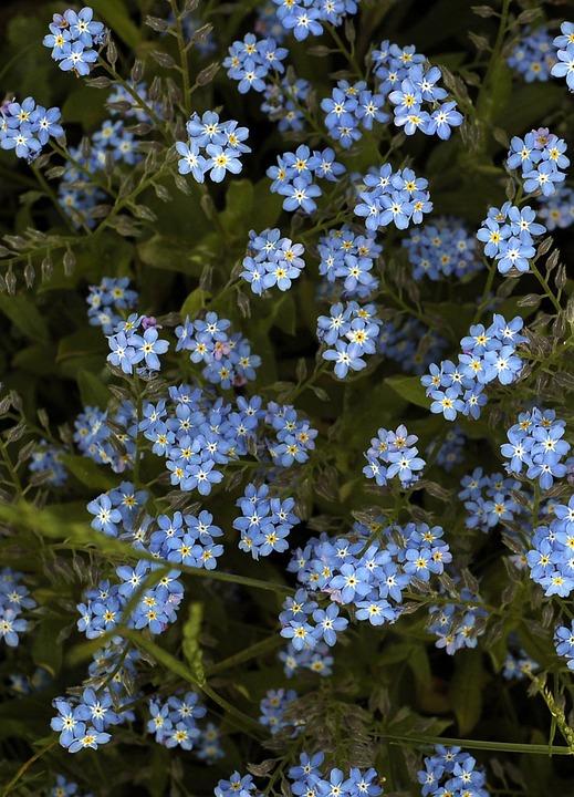 Fiori Blu Sfondo Foto Gratis Su Pixabay