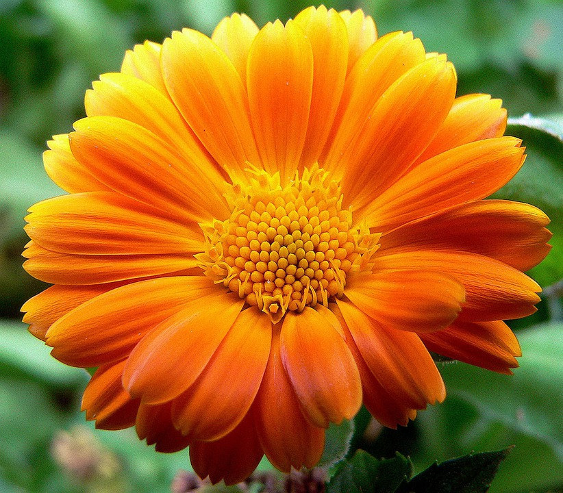 Gerbera - Free images on Pixabay