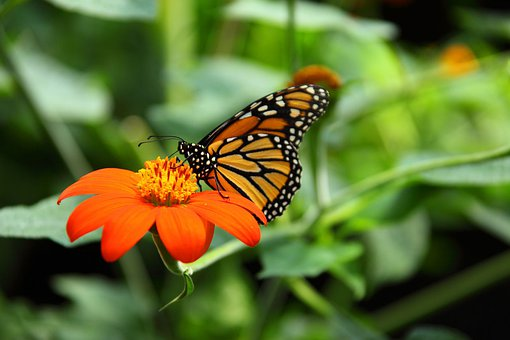 Animal, Beautiful, Monarch, Butterfly