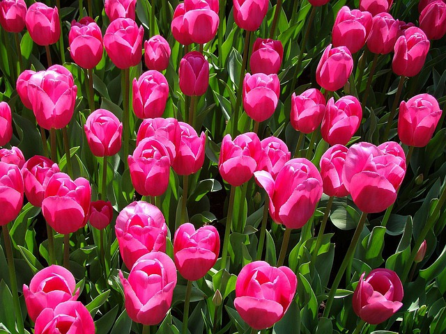 Free Photo Tulips Pink Flower Flora Free Image On