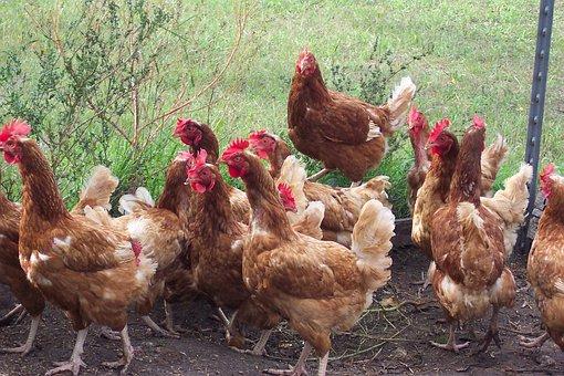 Chicken, Hen, Fowl, Country, Farm, Rural