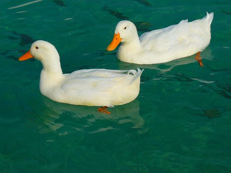 Duck, White, Ducks, Animal, Water, Duck