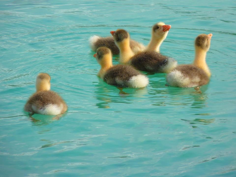 chicken swimming pool