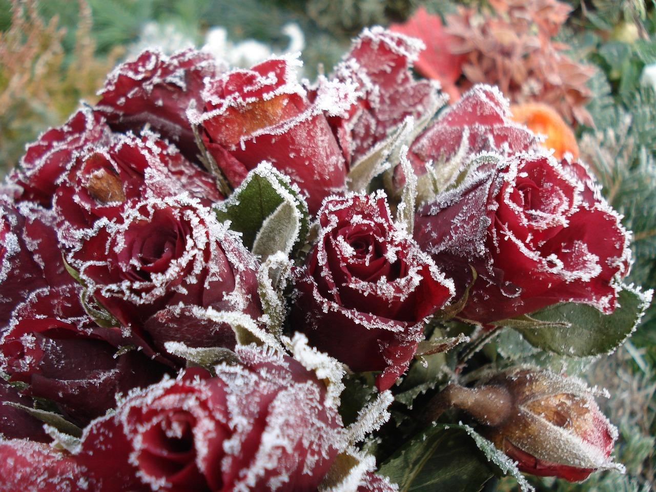 Фото замерзшей розы