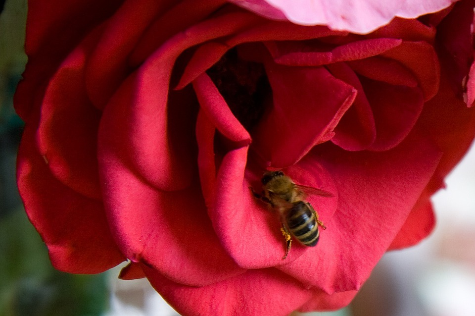 Bee, Animal, Rose, Flower, Red, Insect, Nectar