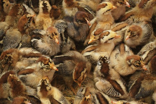 Chicken, Chicks, Baby, Birds, Poultry