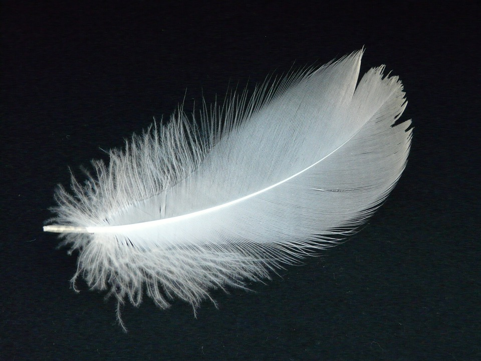 swan feather free photo on pixabay