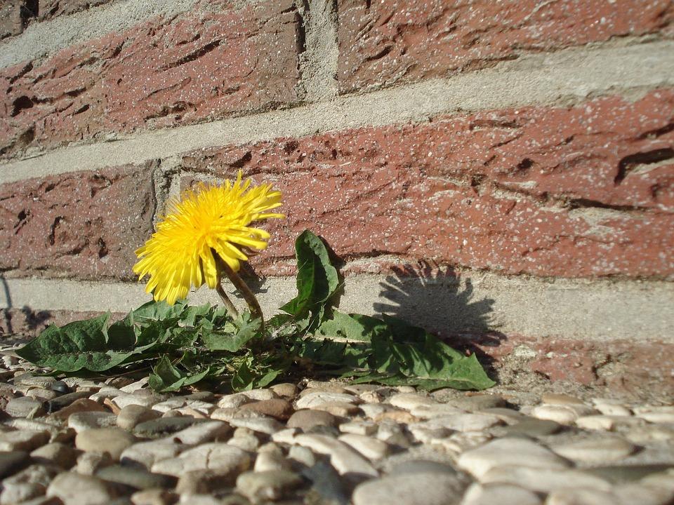 Maskros, Blomma, Vägkontroller, Växt