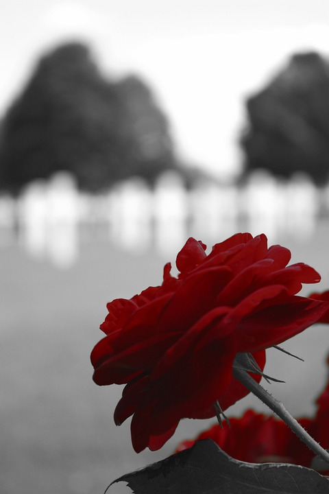 Red rose black white cemetery usa army war