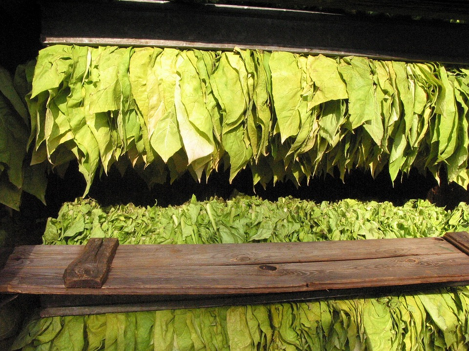 Tabaco, Folhas De Tabaco, Tabaco Grave, Leitura