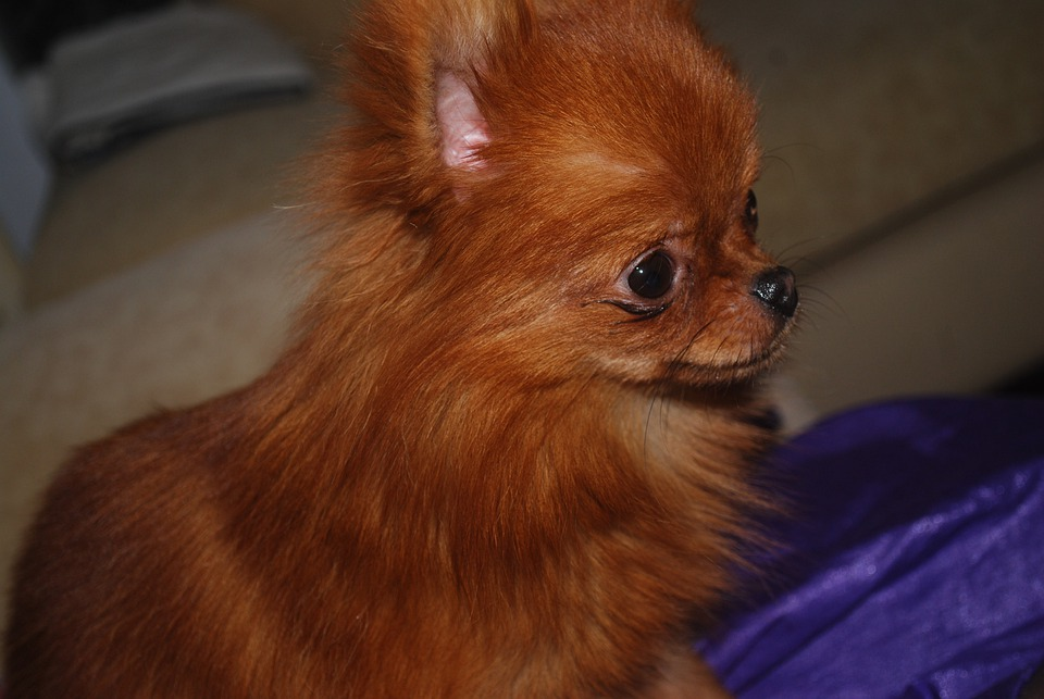 Amazing German Spitz Canine Adorable Dog - dog-17004_960_720  Perfect Image Reference_41659  .jpg