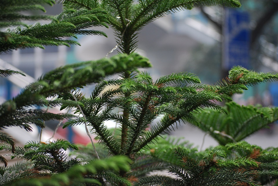 Tree Pine Norfolk · Free Photo On Pixabay