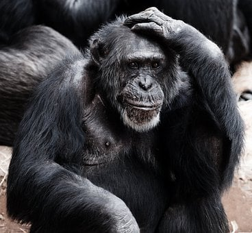 Animal, Ape, Black, Clever, Face, Hands