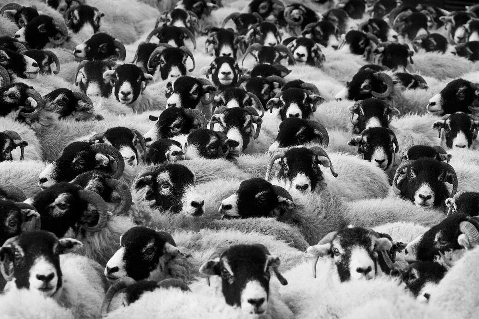 Vieh, Tiere, Schafe, Säugetiere, Herde, Gruppe