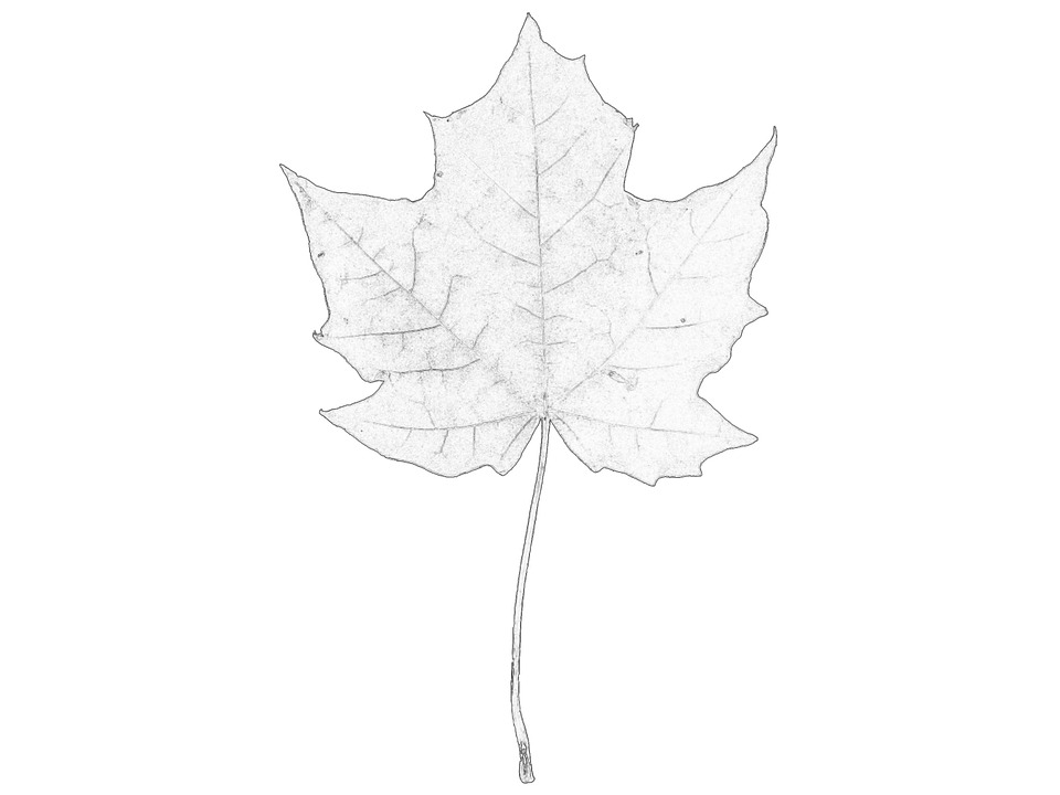 Maple Leaf Stem Free Image On Pixabay