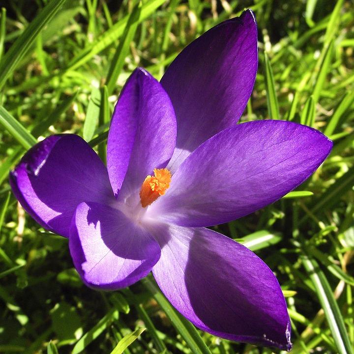 Crocus Bunga Violet Foto Gratis Di Pixabay