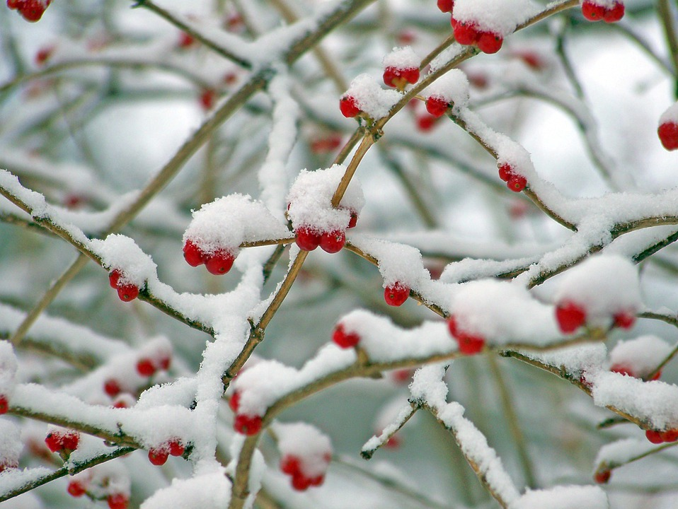 free photo red berries snow winter nature free