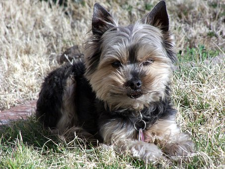 Yorkie, Terrier, Dog, Pet, Canine