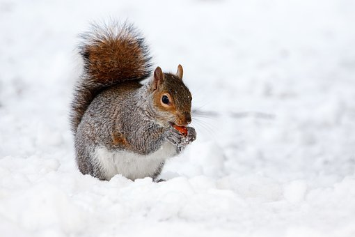 Squirrel, Rodent, Animal, Brown, Cold